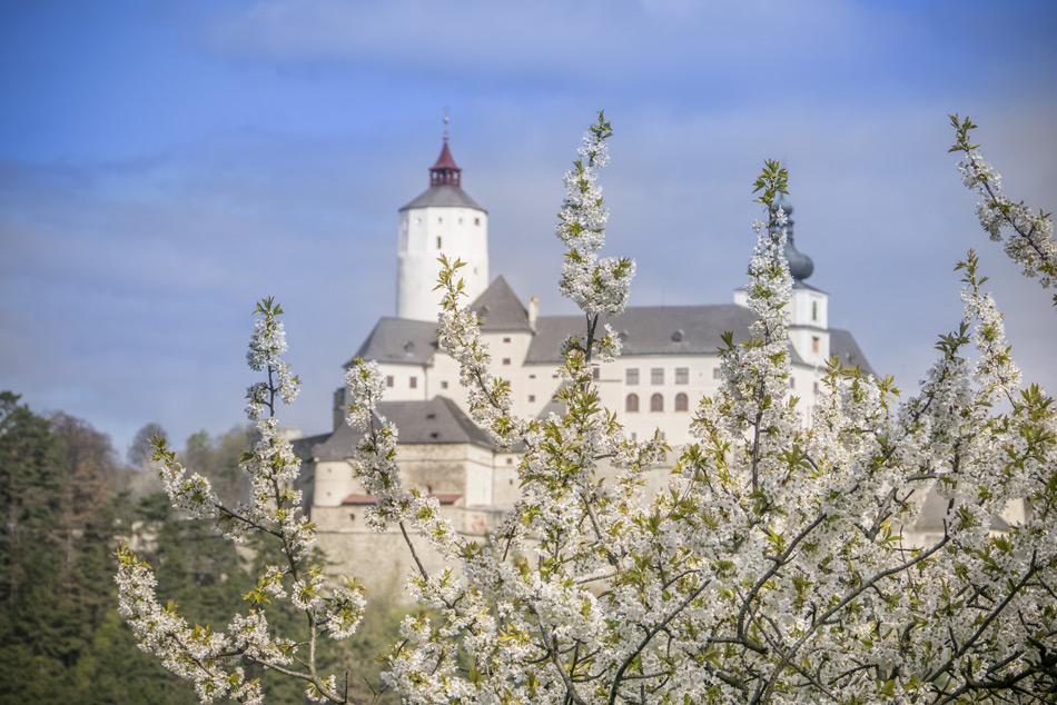 Auf dem Bild: Die Burg Forchtenstein bei der Kirschbluete